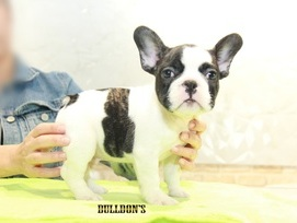 ID:FB1087 French Bulldog 販売中!