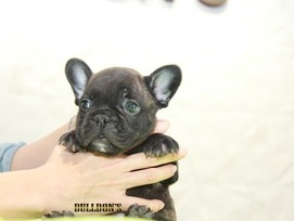 ID:FB1088 French Bulldog 販売中!