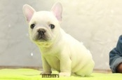 ID:FB1086 French Bulldog