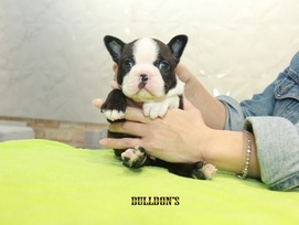 ID:BT319 Boston Terrier  販売中!