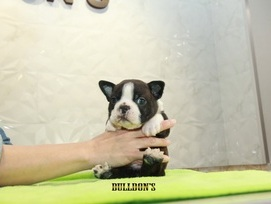 ID:BT320 Boston Terrier  販売中!