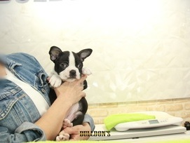 ID:BT315 Boston Terrier  販売中!