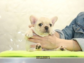 ID:FB1100 French Bulldog 販売中!