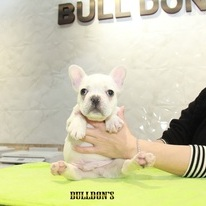 ID:FB1093 French Bulldogのイメージ