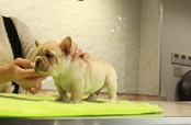 ID:FB988 French Bulldog