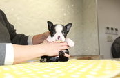 ID:BT286 Boston Terrier