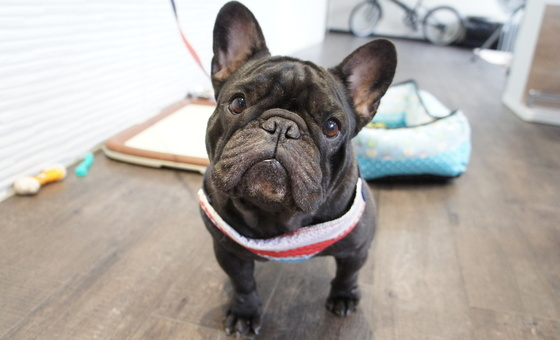 引退犬French Bulldog