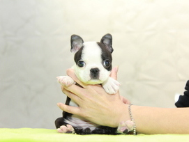ID:BT287 Boston Terrier