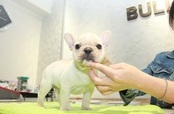 ID:FB1002 French Bulldog