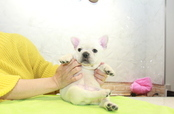 ID:FB1004 French Bulldog