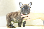 ID:FB999 French Bulldog