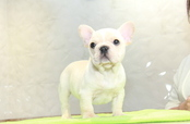 ID:FB1016 French Bulldog