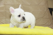 ID:FB1021 French Bulldog