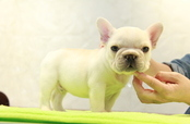 ID:FB1026 French Bulldog
