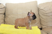 ID:FB1034 French Bulldog 販売中!