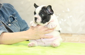 ID:FB1031 French Bulldog