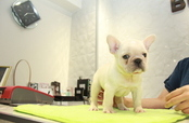 ID:FB1047 French Bulldog 販売中!!!