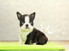 ID:BT301 Boston Terrier