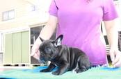 ID:FB1066 French Bulldog