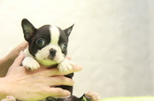 ID:BT305 Boston Terrier
