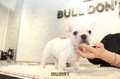 ID:FB1238 French Bulldog