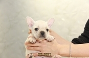 ID:FB1258 French Bulldog