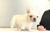 ID:FB1259 French Bulldog