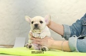 ID:FB1117 French Bulldog