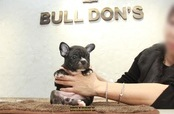 ID:FB1139 French Bulldog