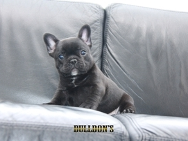 ID:FB1174 French Bulldog 販売中!