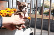 ID:BT339 Boston Terrier