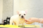 ID:FB1197 French Bulldog