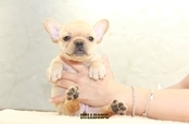 ID:FB1212 French Bulldog