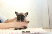 ID:FB1229 French Bulldog