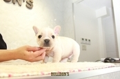 ID:FB1272 French Bulldog
