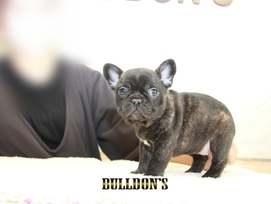 ID:FB1300 French Bulldog