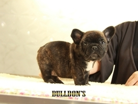 ID:FB1301 French Bulldog 販売中!