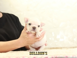 ID:FB1307 French Bulldog