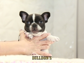 ID:FB1295 French Bulldog
