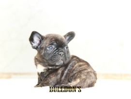 ID:FB1301 French Bulldog