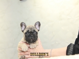 ID:FB1316 French Bulldog 販売中!