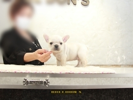 ID:FB1318 French Bulldog 販売中!