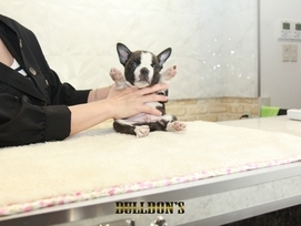 ID:BT388 Boston Terrier 販売中!