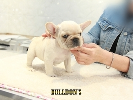ID:FB1310 French Bulldog 販売中!
