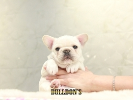 ID:FB1311 French Bulldog 販売中!