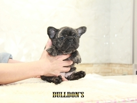 ID:FB1312 French Bulldog 販売中!